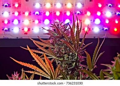 Mature cannabis female plant buds under LED lighting