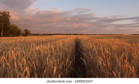 mature cereal harvest against sky. ears of wheat shakes wind. huge yellow wheat floor in idyllic nature in golden rays of sunset. Beautiful stormy sky with clouds in countryside over a field of wheat.