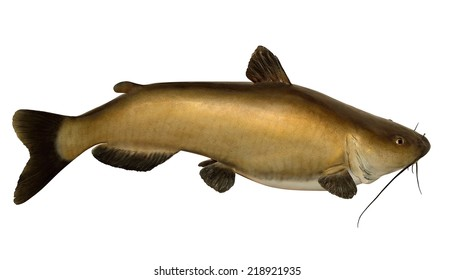 A mature Channel Catfish (Ictalurus punctatus) isolated on a white background.