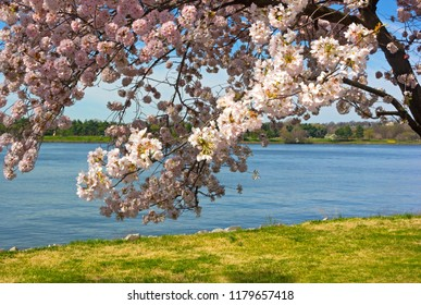 Mature cherry tree at full bloom on the riverbank in Washington DC, USA. Spring panorama of US capital city near Potomac River.
