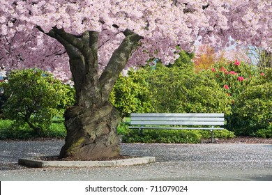 Mature cherry tree in full pink blossom shading an aluminum park bench