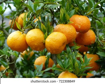 Mature clementines. A clementine is a hybrid between a mandarin and a sweet orange, Rutaceae family