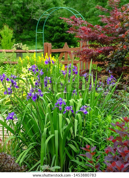 A mature clump of 'Gerald Darby' iris (Iris x robusta 'Gerald Darby') in full bloom (flower) in a garden setting, with copy space