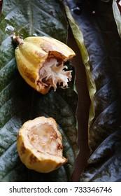 Mature cocoa fruit (Theobroma cacao) Malvaceae family. Rainforest Amazonia. Combu Island, Belem do Para, Brazil.