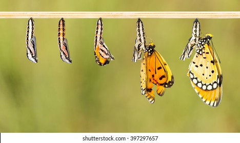 Mature cocoon transform to Tawny Coster butterfly with clipping path