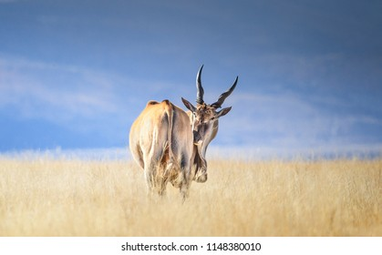 Mature common eland bul, also known as the southern eland or eland antelope photographed in a golden grassland against a brilliant blue sky. South Africa