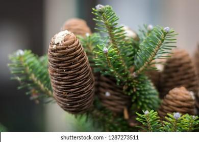 Mature cones of Korean silver fir (Abies koreana) with resin