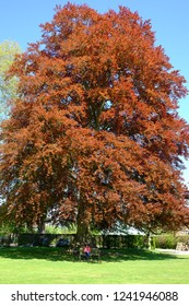 Mature copper beech tree in summer with person enjoying sitting on bench in the shade underneath