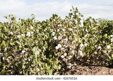 a mature cotton field before defoliation and harvest