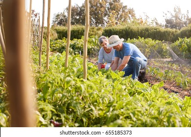 Mature Couple Harvesting Beetroot On Community Allotment