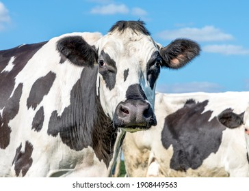Mature cow, mottled black and white, grumpy looking, black nose, in front of  a blue sky