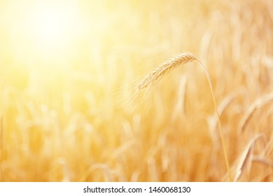 Mature ear of triticale at golden sunrise against blurry background