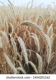Mature ears of cereal triticale