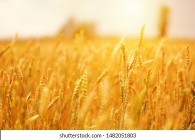 mature ears of wheat in field