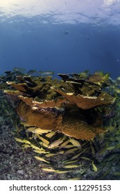 Mature Elkhorn Coral Colony on top of a coral reef with fish amongst the coral and a blue background shot with a fisheye lens in Key Largo, florida