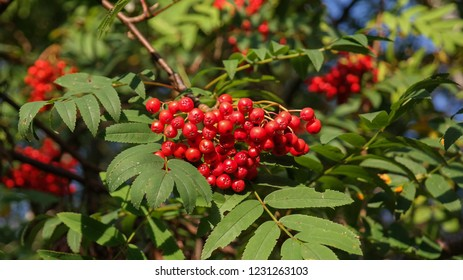 Mature European rowan fruit. Mountain Ash or Quicken Tree red berries on branches. Rowans are genus Sorbus of the rose family and excellent small ornamental trees for parks, gardens and wildlife areas