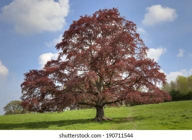 Mature Fagus sylvatica (Copper Beech) tree, England.