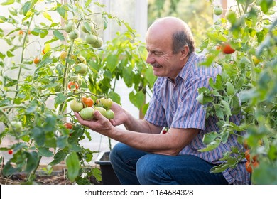 Mature farmer or gardener in the greenhouse checking his tomato quality. He is satisfied with his harvest results