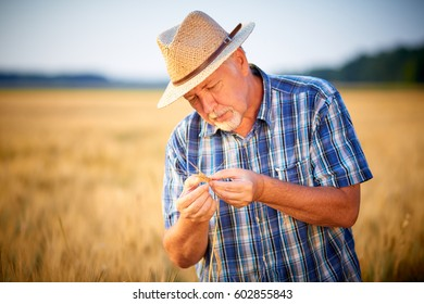 Mature farmer with straw hat checks wheat grain, shoot on late evening