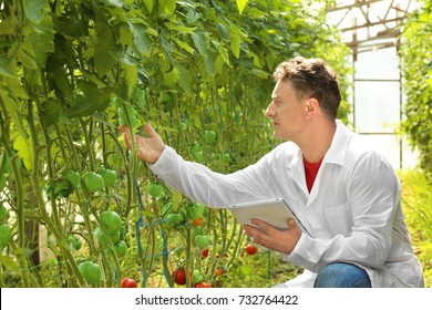 Mature farmer using tablet in greenhouse with tomatoes