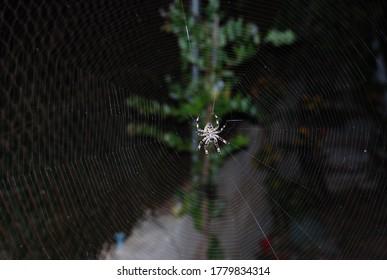 Mature Female Araneus diadematus, European Garden Spider, Araneidae Family, Orb weaving spider