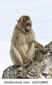 A mature female Barbary Macaque sat on the wall at the Rock of Gibraltar - Europe's only primate Macaca sylvanus