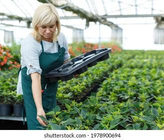 Mature female gardener working with euphorbia pulcherrima in pot in greenhouse