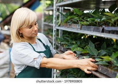 Mature female gardener working with seedlings of euphorbia pulcherrima in garden