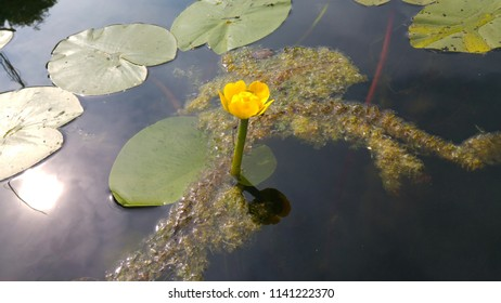 Mature flower nuphar lutea (water-lily, brandy-bottle, cow lily) with some algae in a pond