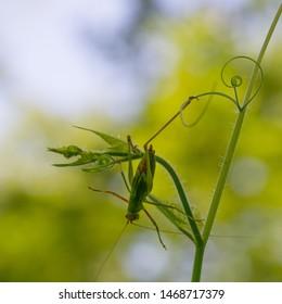 Mature fork-tailed bush katydid - scuderia furcata