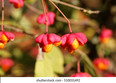 Mature Fruits of the European Spindle Tree ( Euonymus europaeus )