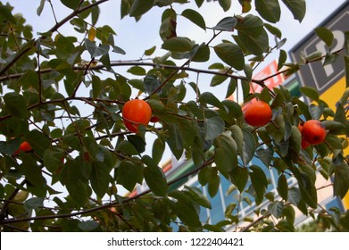 Mature Fruits of korean persimmon tree (Diospyros kaki, Diospyros chinensis) Botanical.