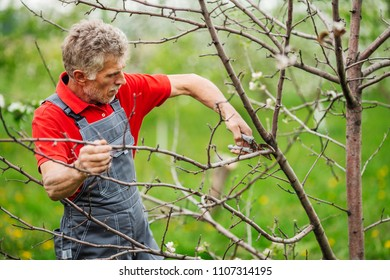 mature gardener with pruner pruning apple tree branch at summer garden background. people and farm concept
