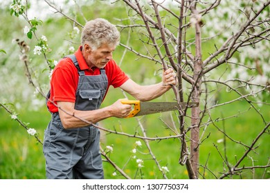 mature gardener with saw pruning apple tree branch at summer garden background. people and farm concept