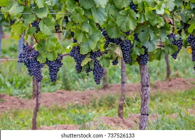 Mature grapes in autumntime in Austria, Burgenland