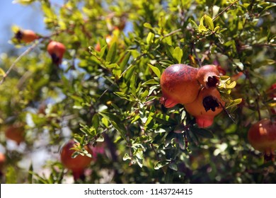 Mature grenades on a branch. Pomegranate fruit of the Mediterranean