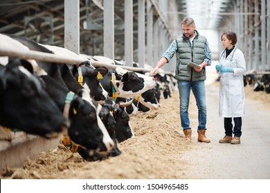 Mature head of large dairy farm with touchpad touching one of cows while consulting with veterinarian by cowshed