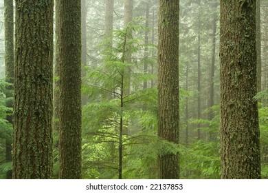Mature Hemlock Forest