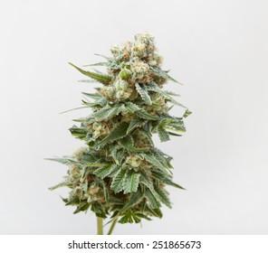 mature hemp bloom of a female plant to smoke