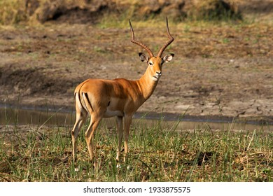 A mature Impala ram displays himself showing the distinctive rump makings and metatarsal glands on the hind legs. These provide clear visual and chemical signals to alert his harem.