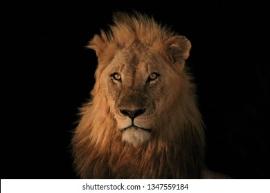 Mature Lion portrait at night