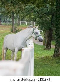 Mature Lipizzaner Horse