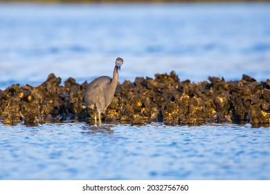 A mature little blue heron foraging for food on an oyster bed.