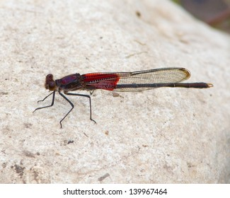 A mature male American Rubyspot damselfly (Hetaerina americana) perched on a rock in the South Llano River near Junction (Kimble County), Texas