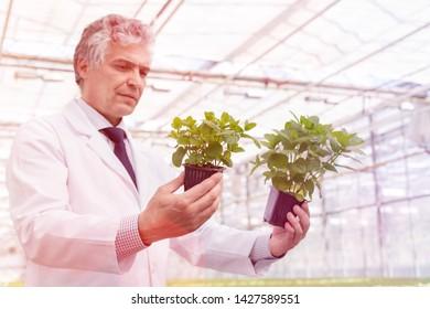 Mature male biochemist examining seedlings in plant nursery