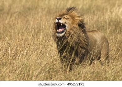 Mature male lion in Masai Mara National reserve, Kenya, Africa