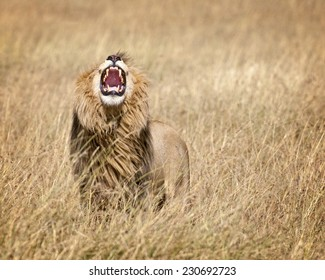 Mature male lion  (Panthera leo nubica) with large mane in Masai Mara National reserve, Kenya, Africa