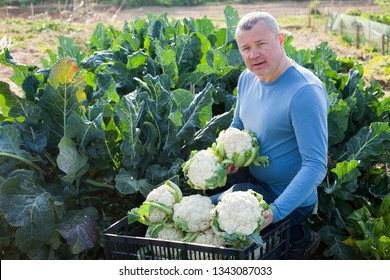 Mature male professional  horticulturist sitting with harvest of cauliflower  in  garden