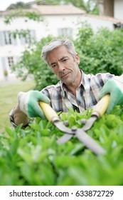 Mature man in garden trimming hedges