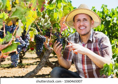 Mature man working on collecting ripe grapes on winery yard
